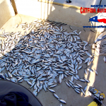 Threadfin Shad Catfish Bait
